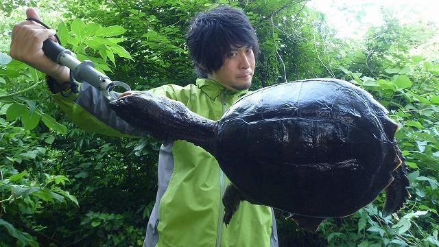 千葉にはカミツキガメいるらしい。「カミツキガメを捕まえて食べた」より