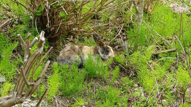 草取りに放たれたウサギがかわいいお寺