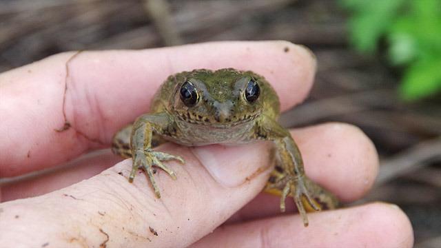 新種のカエル、サドガエルを捕まえた