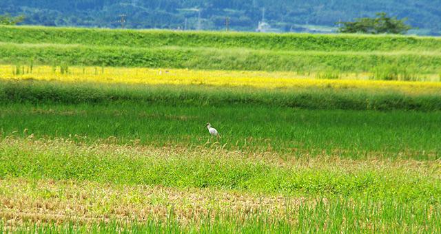 佐渡島でトキを見てきた