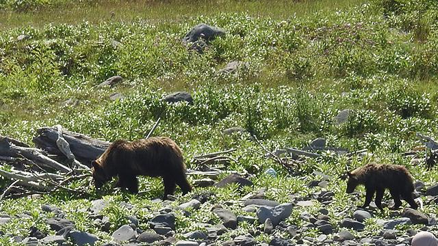北海道で野生のクマを目撃する